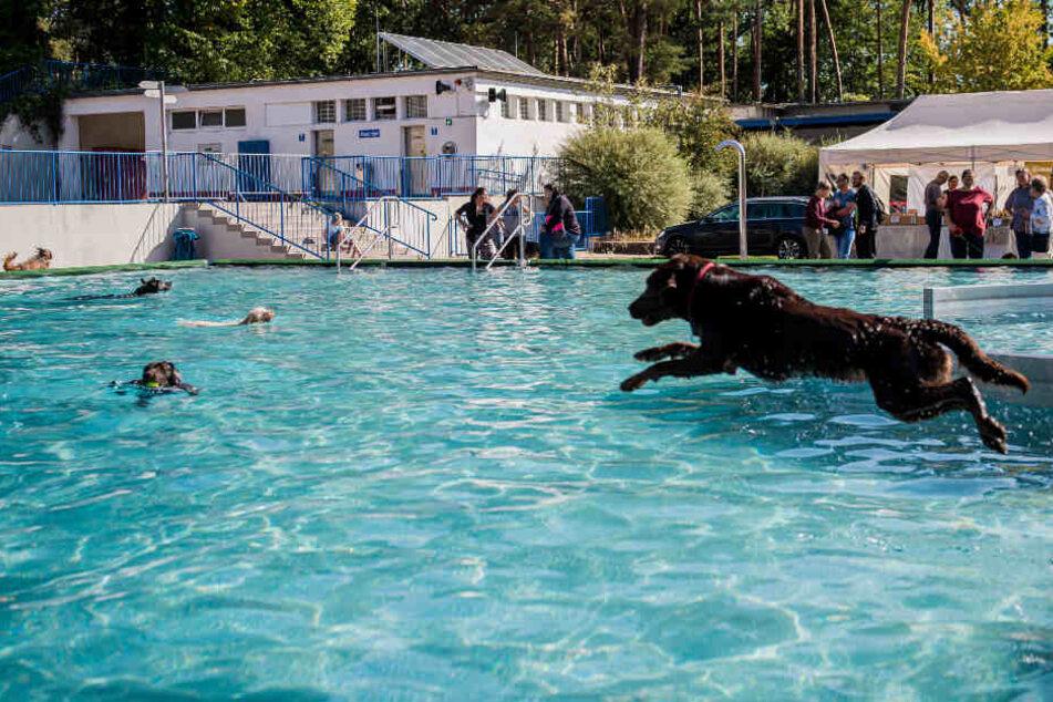 In diesem Freibad ist heute Hunde-Schwimmtag!