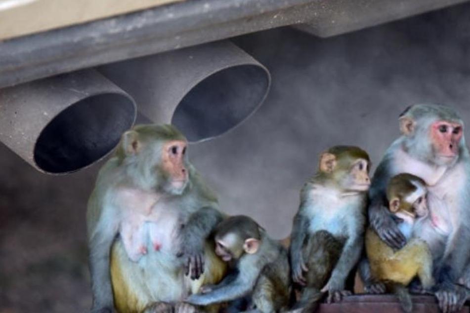 Demnach wurden die Tiere 2014 vier Stunden lang in Räumen mit Auspuffgasen eines - mit manipulierter Abgastechnik ausgestatteten - VW Beetles eingesperrt. (Symbolbild)