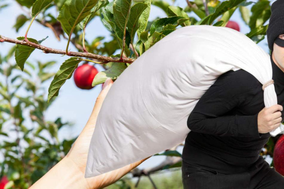 Äpfel und Birnen als Beute: Diebe ernten eine Obstwiese ab (Symbolbild).