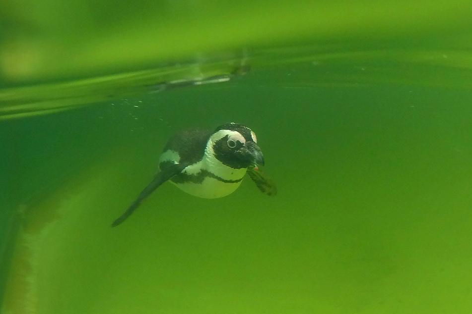 Im Berliner Zoo schwimmt ein ausgewachsener Brillenpinguin durch das grünliche Wasser.