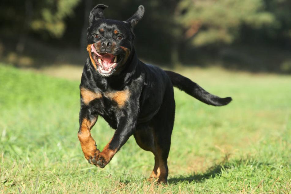 Rottweiler attackiert und verbeißt sich in Frau: Klinik!