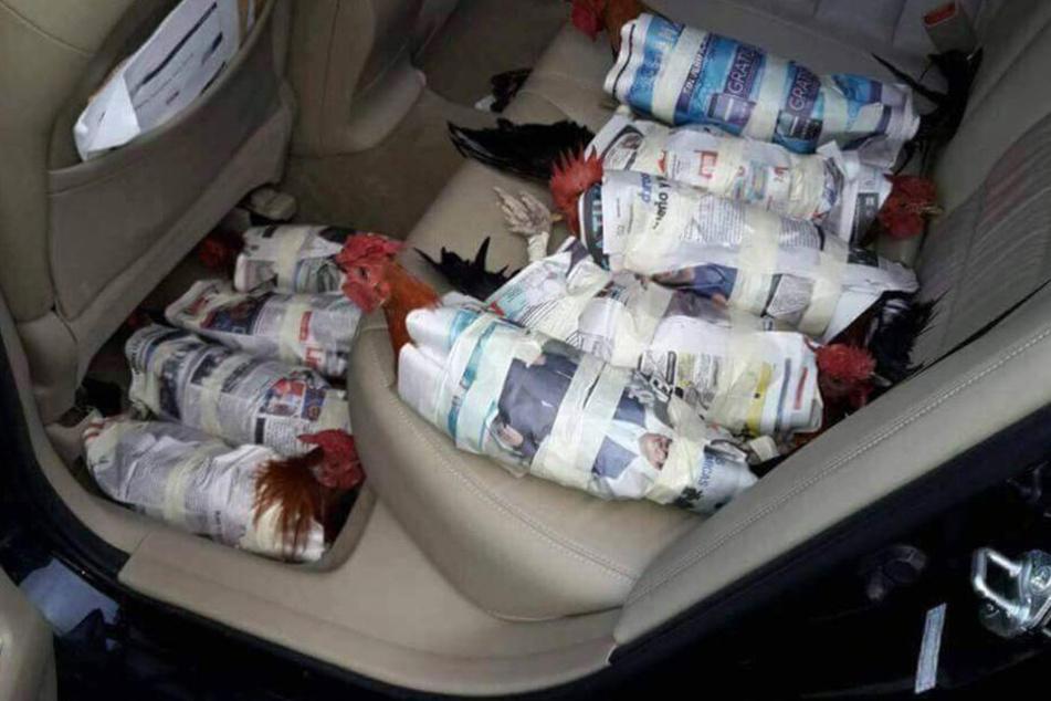 Mehrere Hühner liegen in einem Auto. Die Menschen in Florida versuchen ihr komplettes Hab und Gut in Sicherheit zu bringen.