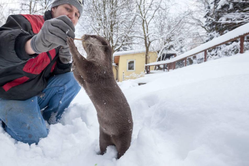 Zwergotterdame Ferret spielt mit Pfleger Peter Hömke (30) im Schnee.