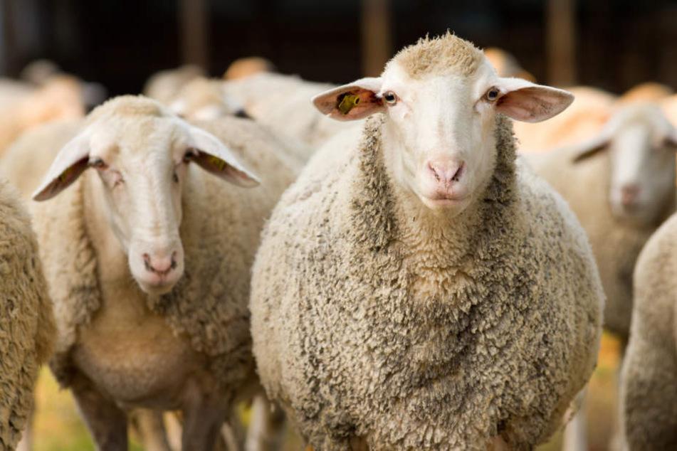 Bei dem tragischen Autounfall wurden zwei Schafe getötet. (Symbolbild)