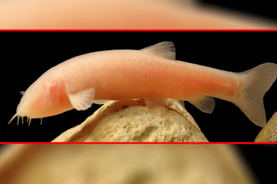 Im Irak wurde während eines Unwetters eine neue Fisch-Art entdeckt.