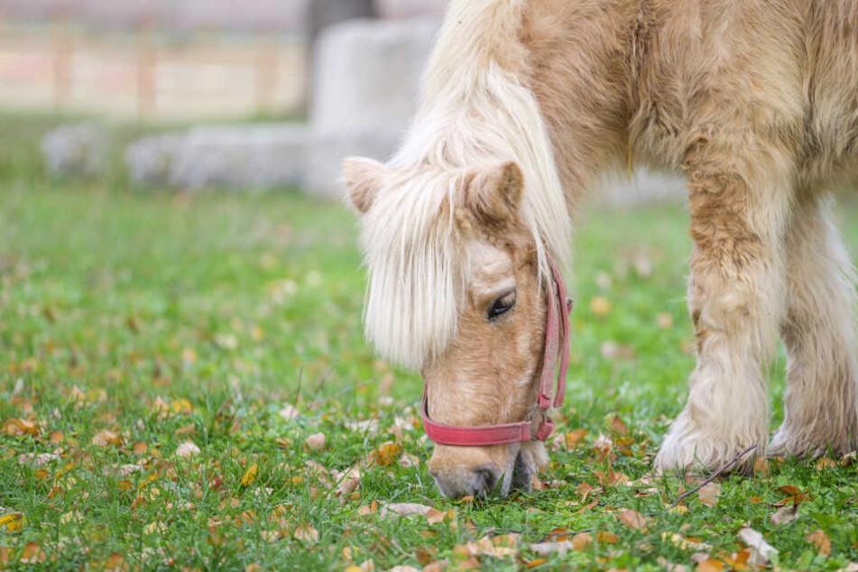 Wehrloses Pony mit Seil stranguliert: Doch es kommt noch schlimmer