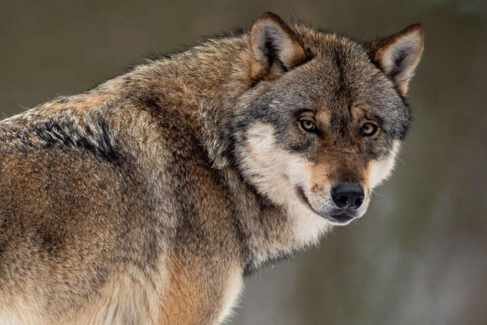 Ein Wolf wie dieser soll sich in der Eifel niedergelassen haben.