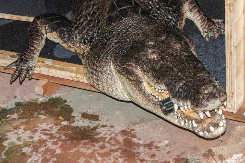 Ist Frederick das größte Krokodil Deutschlands?