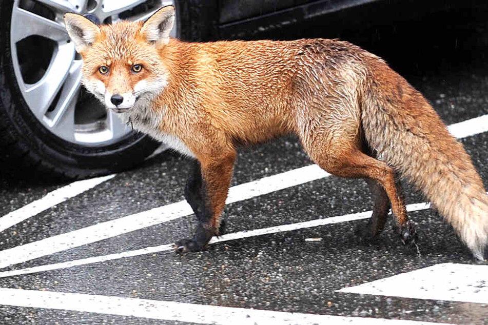 Ein Fuchs musste nach einem Unfall seine Beute zurücklassen.