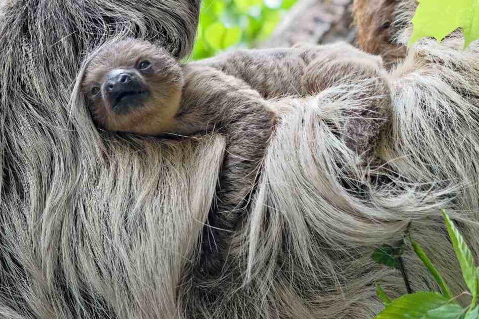 Die Faultiere im Zoo Hellabrunn haben ein Baby bekommen.