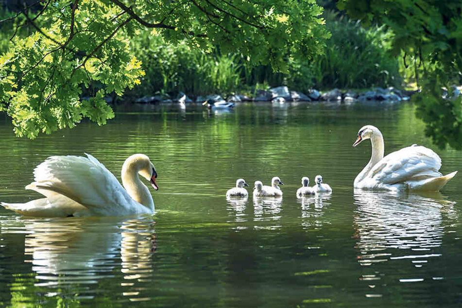 Traumhaftes Fotomotiv und wirklich schöner Anblick: Die Schwanenfamilie vom Carolasee im Großen Garten auf ihrem ersten Ausflug.