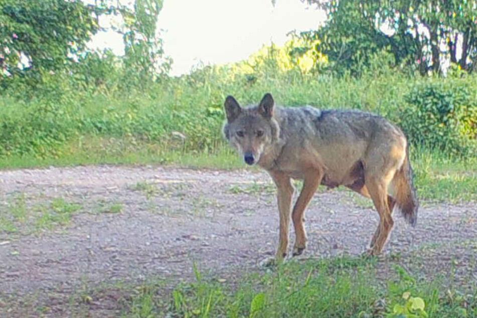 Abschussbefehl! Einzige Wölfin in Thüringen darf getötet werden