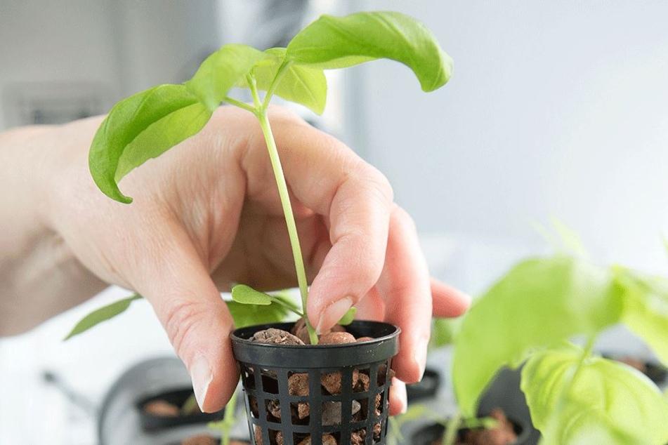 """""""Urban Gardening"""" ist der neue Trend auf dem Sonnenberg."""