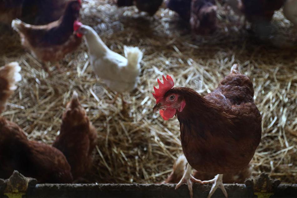 Zwölf Männer versteckten sich zwischen den Hühnern. (Symbolbild)