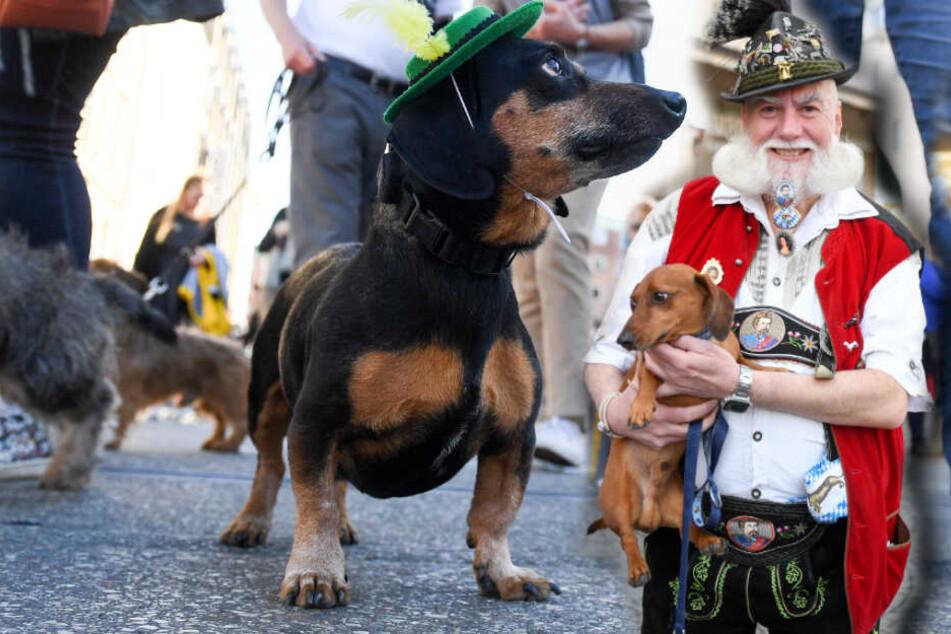 Dackel-Parade: München feiert sein inoffizielles Wappentier