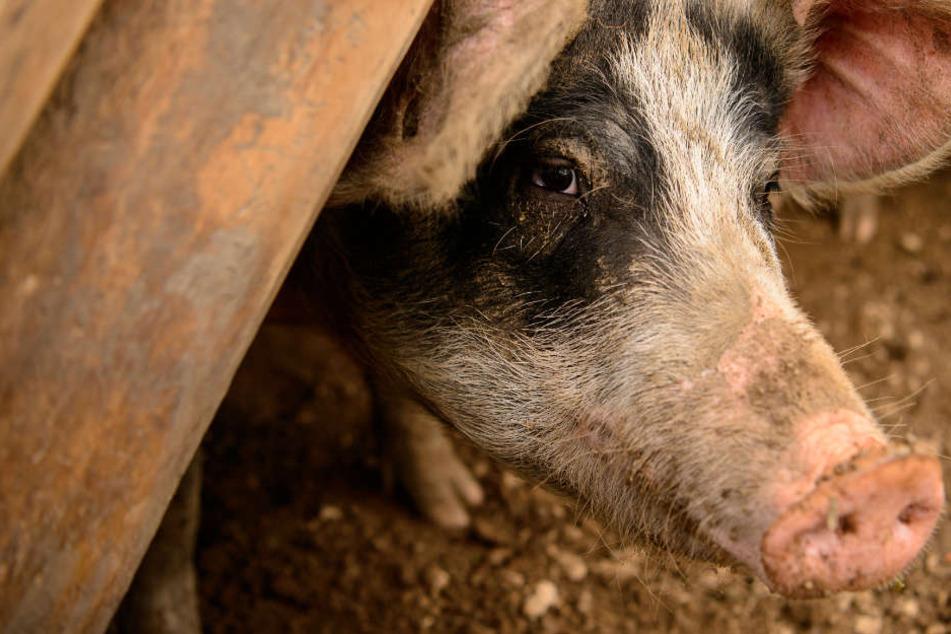 Blutspur im Stall: Unbekannter tötet Schwein und klaut den Kadaver