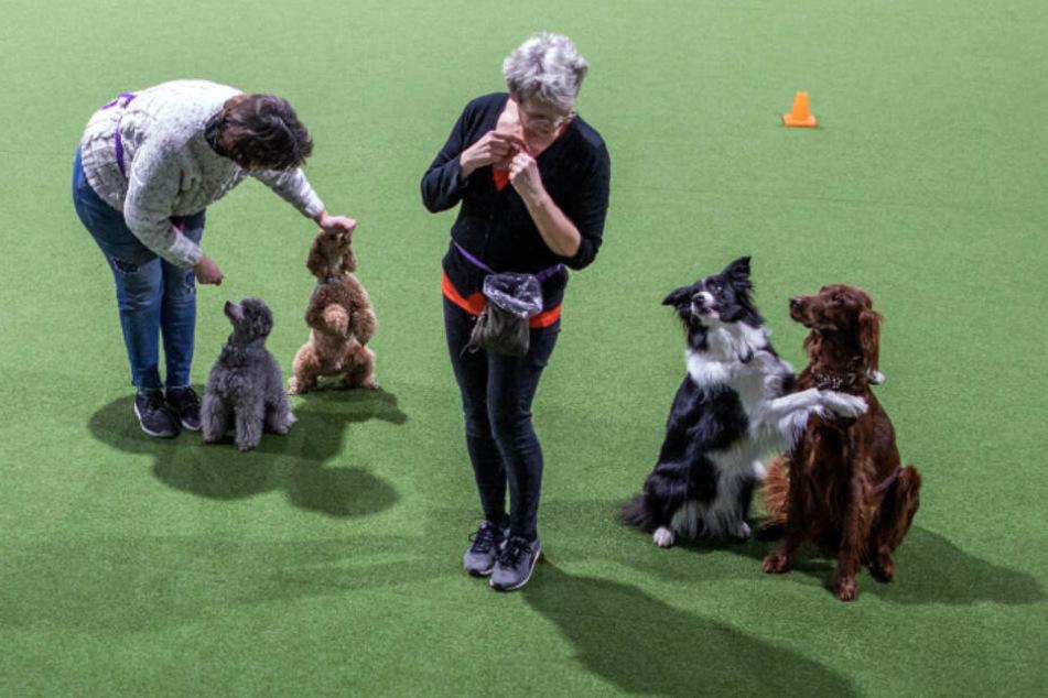 Silke Witt (links) mit ihren Pudel-Rüden Kaspar und Rigoletto sowie Claudia Eggers mit Bordercollie Kesh und der braunen Irish-Setter-Hündin Stella trainieren in die Indoor-Trainingshalle für Hundesportler für den nächsten Auftritt in Dogdance.