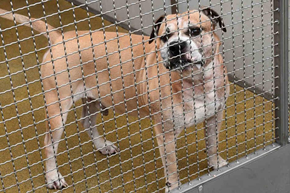"""Hannover 2018: Der Staffordshire-Terrier-Mischling """"Chico"""" steht in einem Gehege im Tierheim. Nach der tödlichen Attacke auf zwei Menschen wurde der Hund eingeschläfert."""