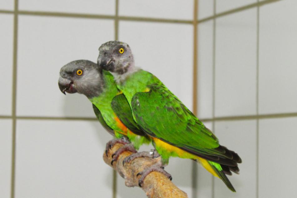 Papageien Edgar und Gregor.