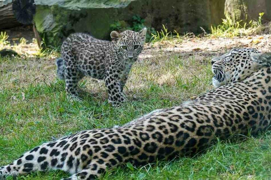 Die Persischen Leoparden sind in freier Natur fast ausgestorben.
