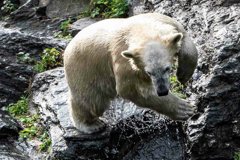 Eisbärenkind Hertha steht in ihrem Gehege im Tierpark auf einem Felsen.