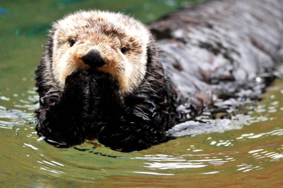 Die Rückkehr des niedlichen Fischotters ist ein Zeichen für gesunde Gewässer (Symbolbild).