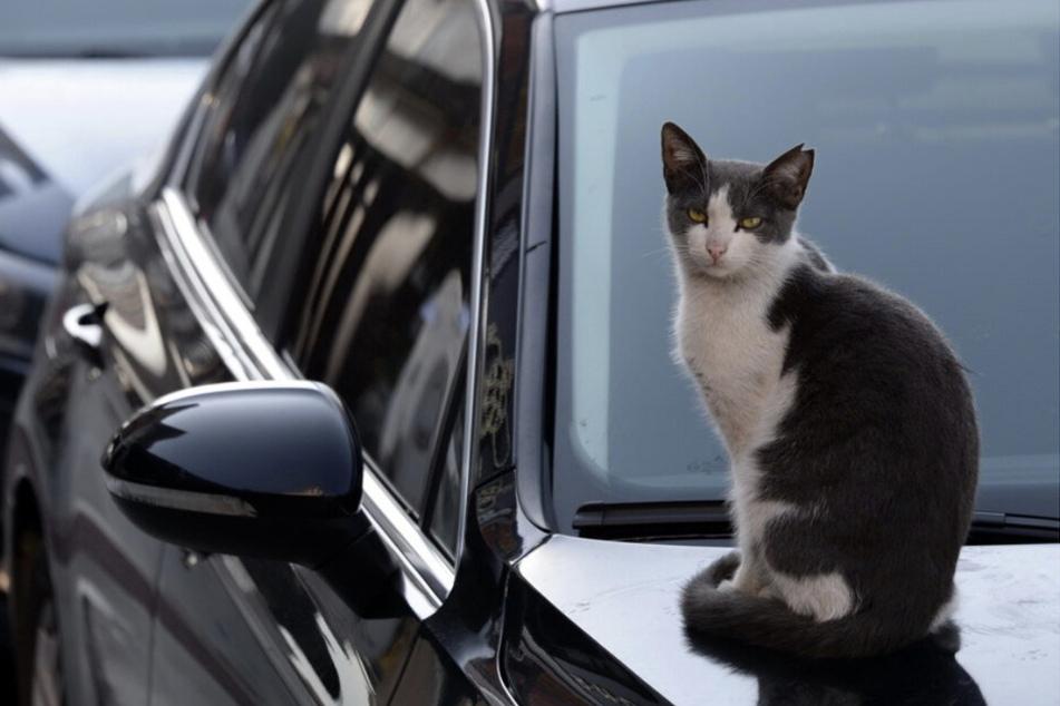 Versicherungs-Detektive ermitteln in Sachsen: Ist Katze für krassen Blechschaden verantwortlich?