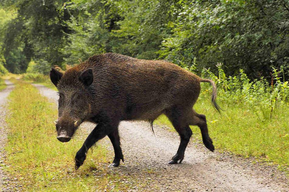 Ein ausgewachsenes Wildschwein kann bis zu 200 kg wiegen. (Symbolbild)