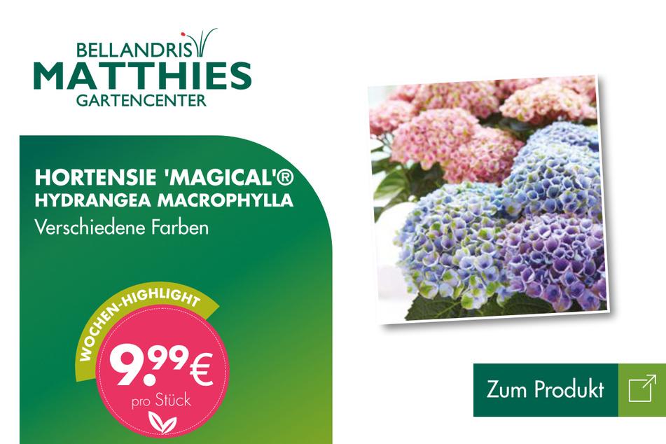 Hortensie 'Magical'® für 9,99 Euro