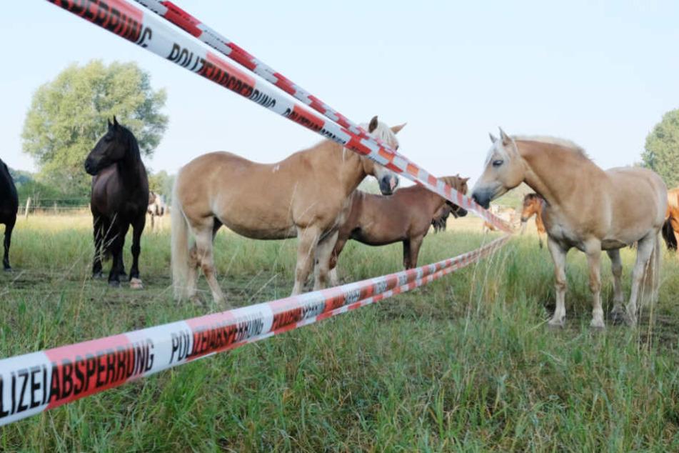 Noch ist unklar, woher die Pferde kamen (Symbolfoto).