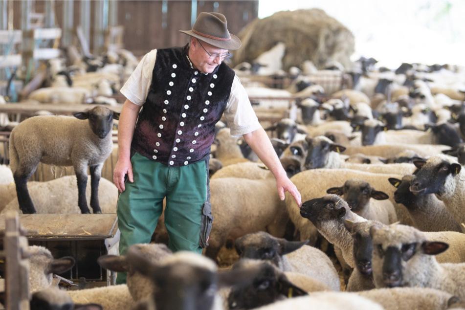 Detlef Rohrmann (61) vom Schaf- und Ziegenzuchtverband steht in seinem Stall zwischen Lämmern und Schafen.