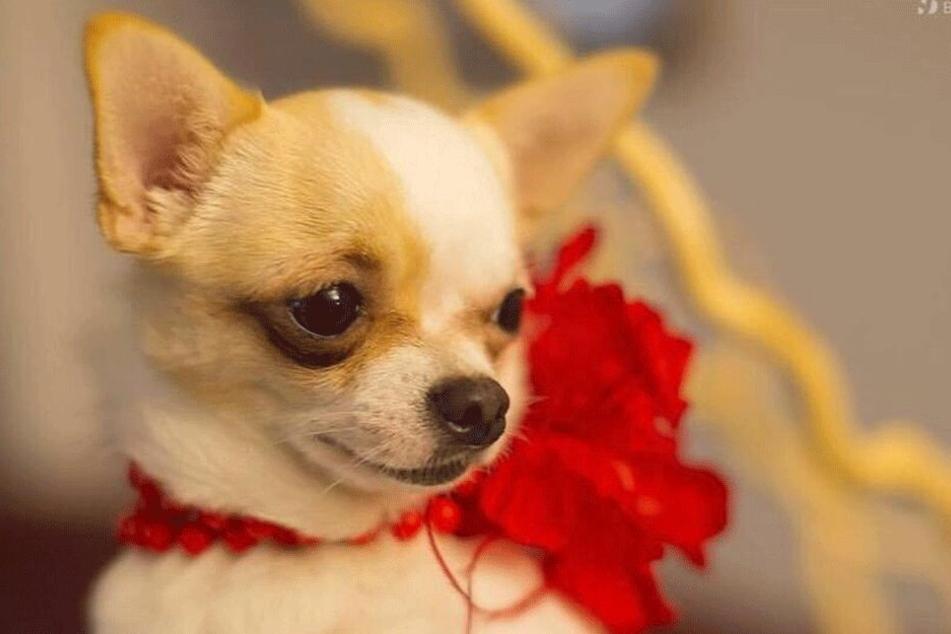 Hündchen Gina (4) wurde überfahren. Sie hat seither eine böse Beule am Körper. Eine Operation scheut die Besitzerin, aus Angst, der kleine Chihuahua überlebt die Narkose nicht.