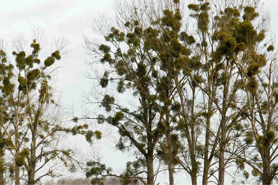 Treten Misteln in Massen auf, können sie zu einer Gefahr für die Bäume werden (Archivbild).