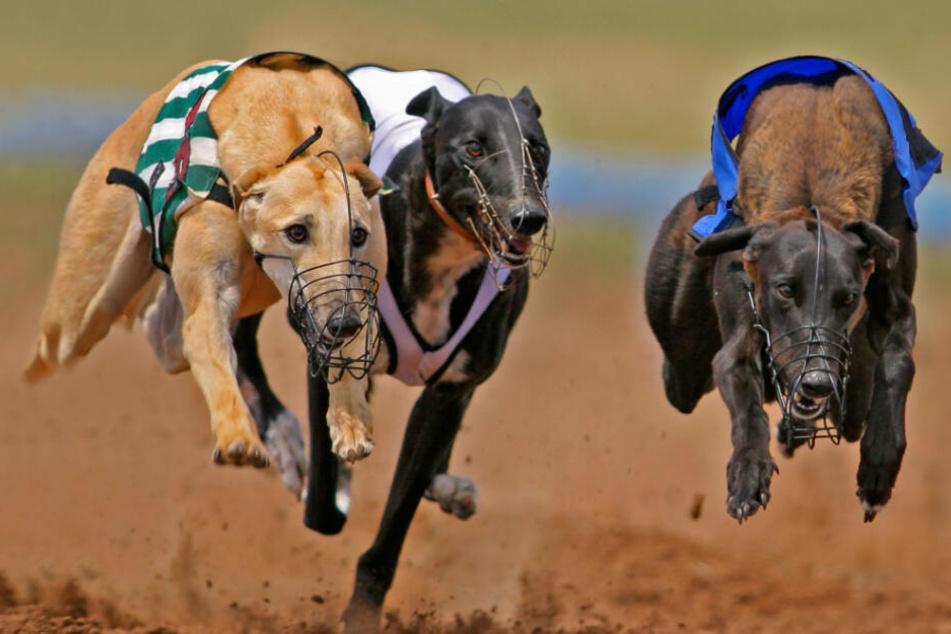 Windhunde (engl. Greyhounds) rasen eine Rennbahn entlang. Um bessere Ergebnisse zu erzählen, werden sie häufig von ihren Besitzern gedopt. (Symbolbild)