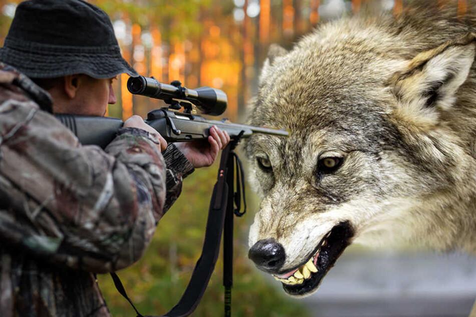 Verschärfte Regeln: Jetzt kommt der Wolf auf die Abschussliste