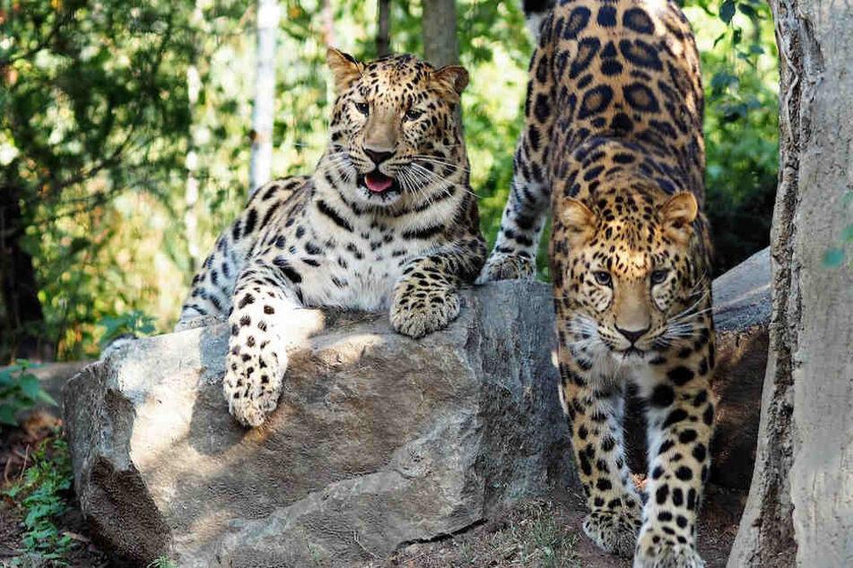 Trauriger Abschied: Diese Leoparden mussten den Zoo verlassen