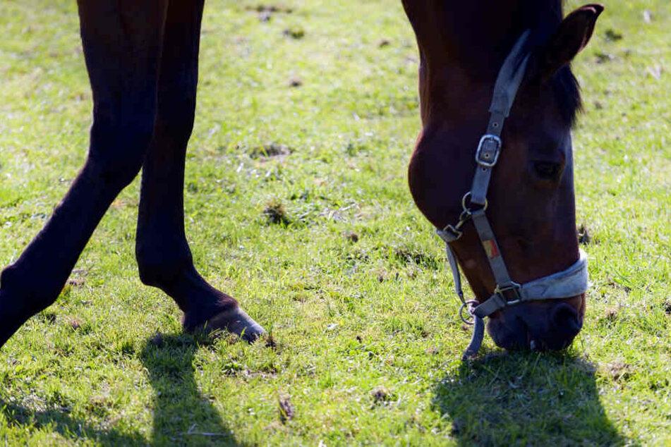 Das Pferd hatte auf einer Koppel gestanden, als es von Unbekannten angegriffen wurde. (Symbolbild)