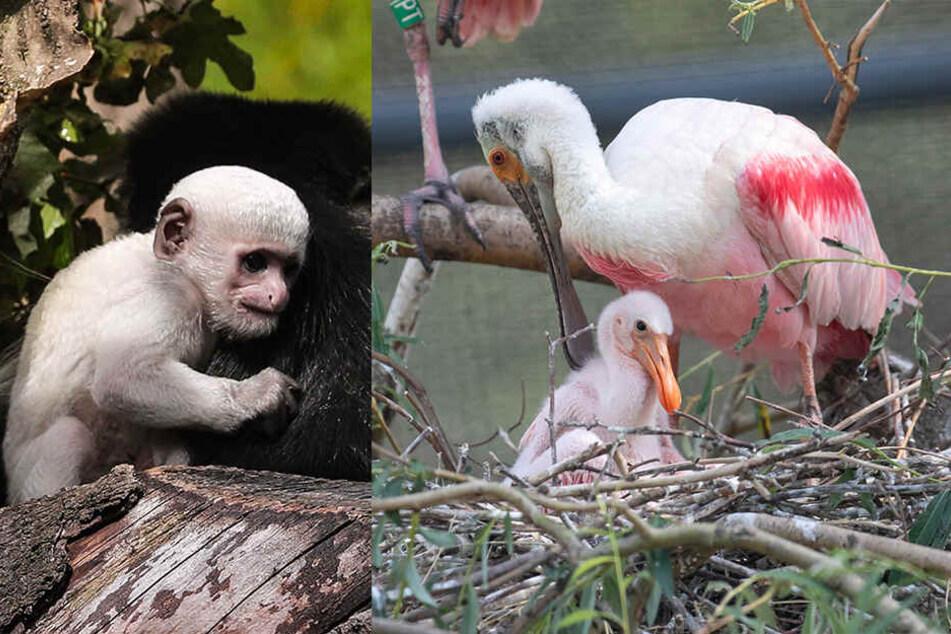 Äffchen, Büffel & Co: Babyfreuden im Dresdner Zoo