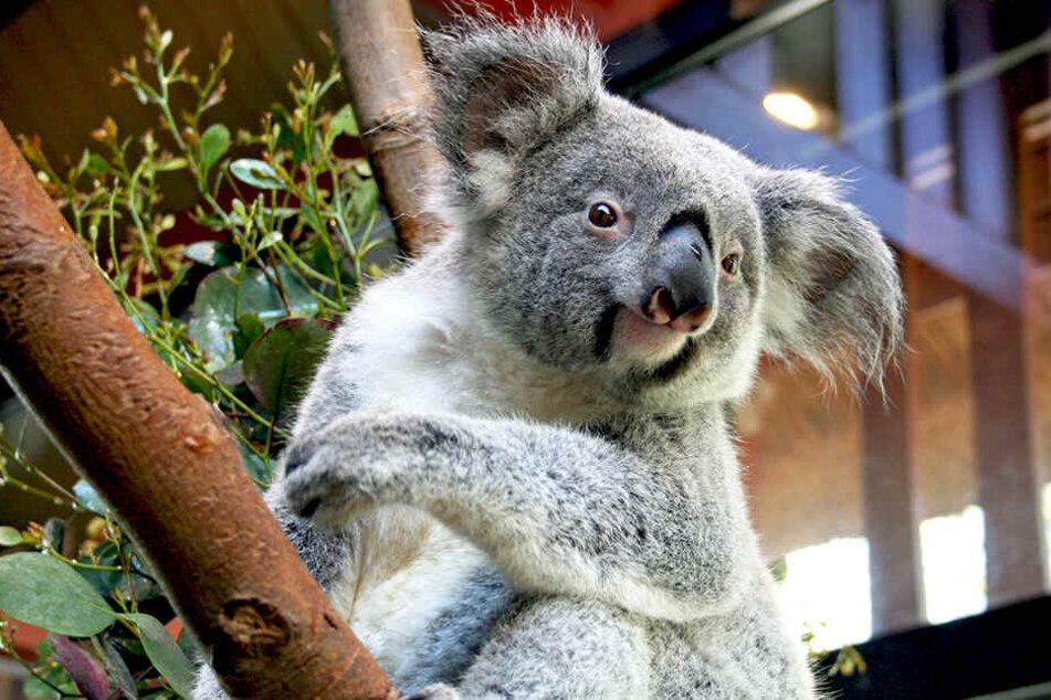 Das Koala-Weibchen Sydney zieht schon bald im Dresdner Zoo ein.