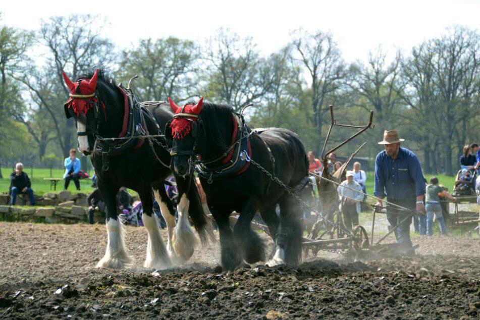 Mit Rückerpferden können Bäume schonender aus dem Wald abtransportiert werden.
