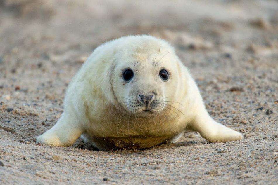 Eine junge Robbe.