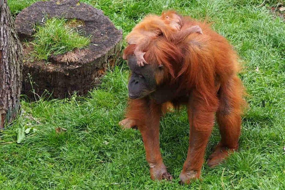 Der Zoo Leipzig feiert am Wochenende nicht nur den Schulanfang in Sachsen, sondern auch den Welt-Orang-Utan-Tag.