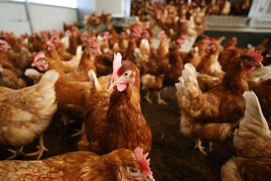 Nach dem Ausbruch der Vogelgrippe in einer Hobbyzucht im Kreis Greiz starten Amtstierärzte an diesem Freitag eine großangelegte Kontrolle.