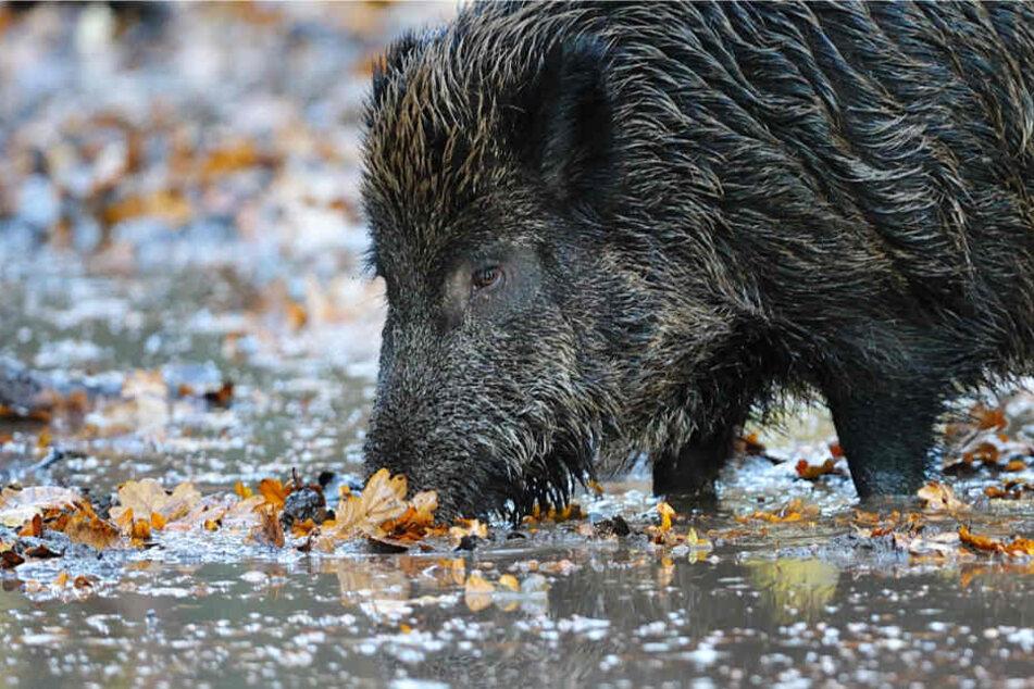 Der Großteil des Wildfleisches aus Hessen stammt von Rehen und Wildschweinen (Archivbild).