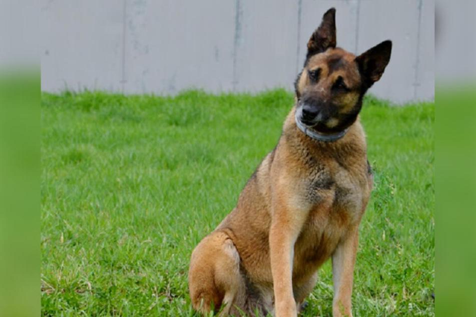 Der belgische Schäferhund Tomi (†8) hatte bei einer erfahrenen Hundehalterin ein neues Zuhause gefunden und starb dort am Montag auf tragische Art und Weise.