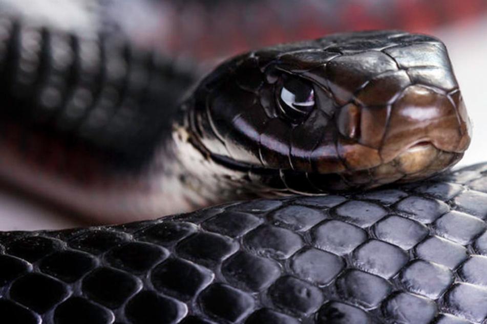 Wünscht man sich nicht auf dem Klo zu begegnen: eine Schlange. (Foto:123RF)