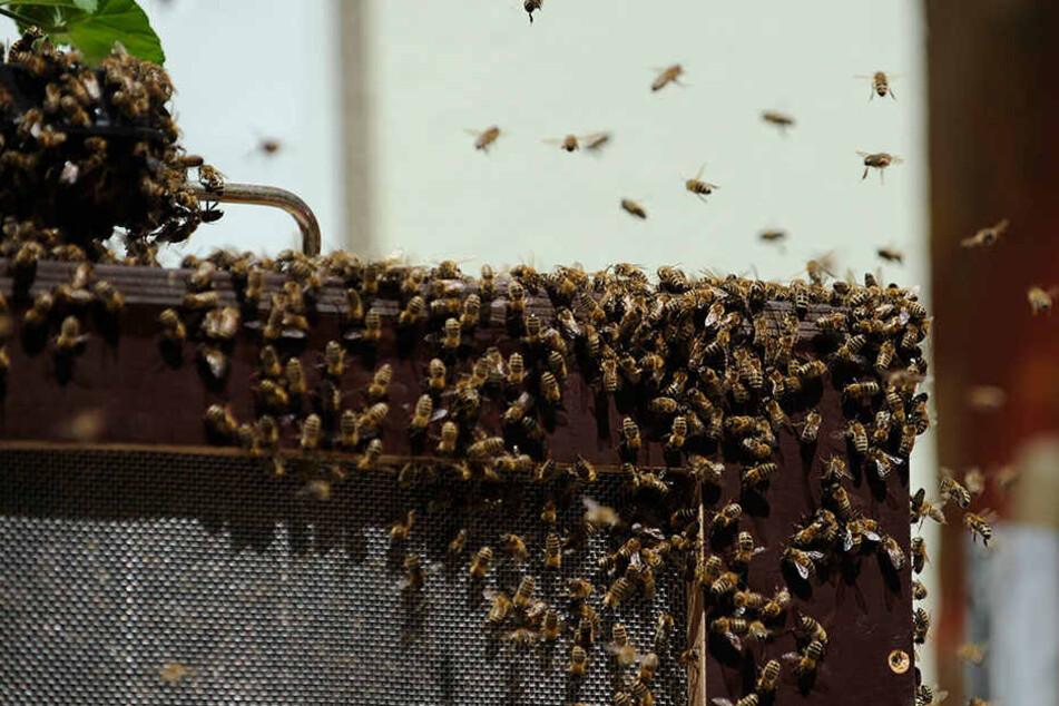 Auch einige Bienenarten gelten in Deutschland als vom Aussterben bedroht.