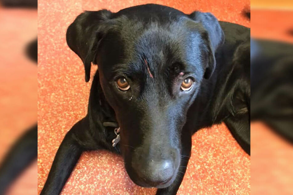 Hund Loki hat mitten auf dem Kopf einen großen Kratzer.