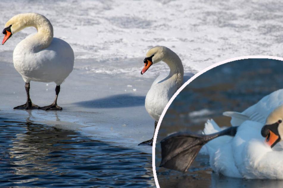 Kalte Füße? Deshalb frieren Vögel auf dem Eis nicht fest