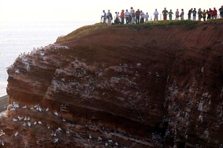 Nordseeurlauber und Vogelkundler beobachten Vögel auf dem Lummenfelsen der Hochseeinsel Helgoland (Kreis Pinneberg). Dort stürzen sich die drei Wochen alten Küken der Trottellumme von dem bis zu 40 Meter hohen Vogelfelsen in die Nordsee.